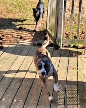 Marlow plays with other pets in his foster home.