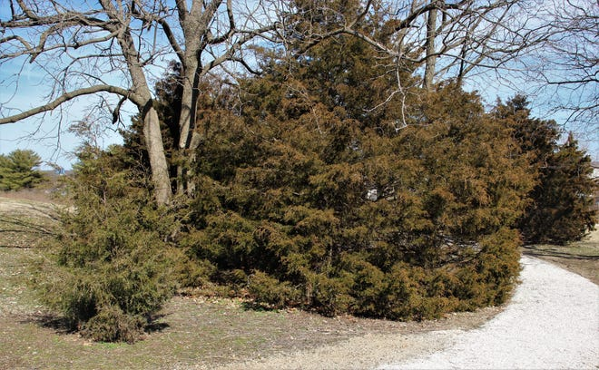 A look at the many qualities of Missouri cedar trees.