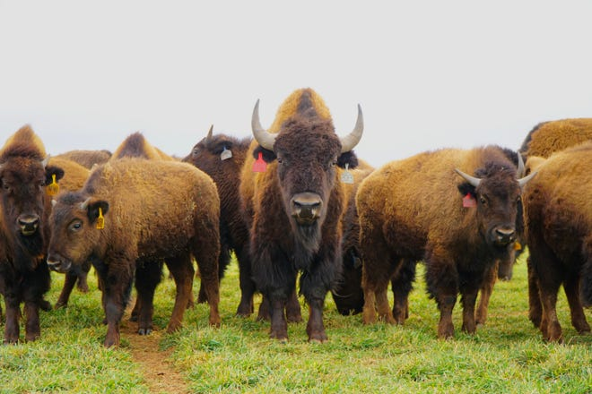 Bison owned by the Benjamin Lee Bison company stand in a field near Sayre in western Oklahoma on Feb. 25. The company has close to 800 head of bison.