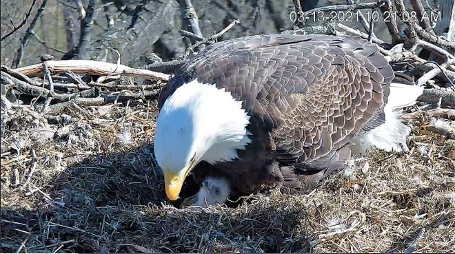 A newly-hatched bald eaglet arrived into the world early Saturday morning — the first of two babies this year for a pair of experienced bald eagle parents in Hanover. Credit: HDOnTap