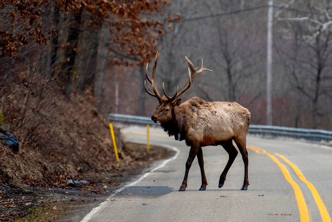 An elk bull crosses the road in Benezette, Pa., on March 1, 2021, where the amount of snow this year has brought the herd down from the higher elevations into the valley in search of food - mainly grass in the yards of homes.   Elk herd numbers more than 1,400 and has created a tourist town out of the area. (Tom Gralish/The Philadelphia Inquirer via AP)