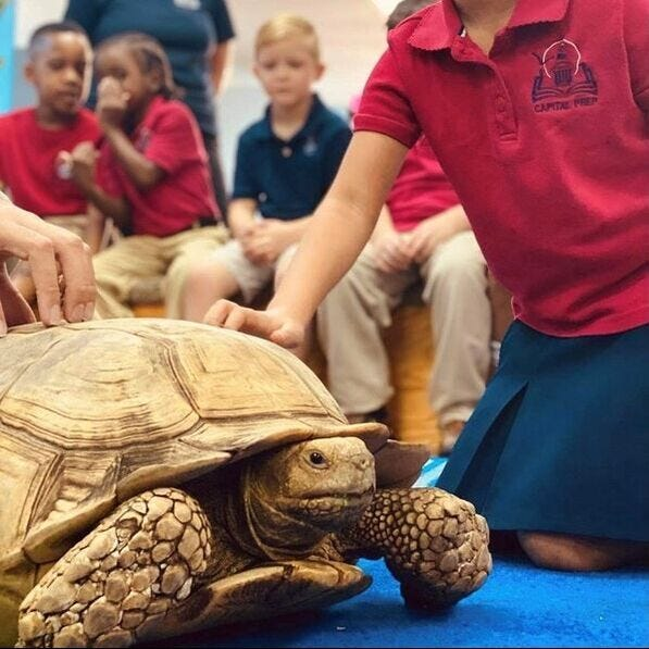 Echo is a 5 year old Sulcata, or African Spurred Tortoise. These are the third largest species of tortoise in the world and can live to be over 100 years old.