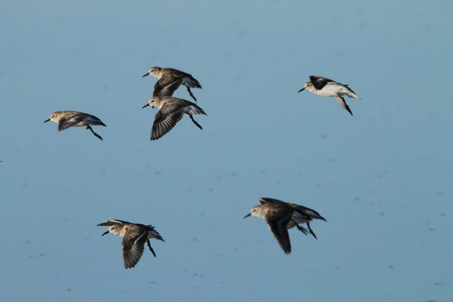 Some least sandpipers are spotted at the Hornsby Bend Bird Observatory in eastern Travis County.
