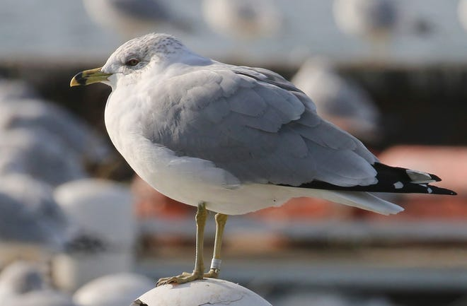 This nearly 29-year-old ring-billed gull, photographed Jan. 9 in Cleveland, is the oldest known of its kind in North America.