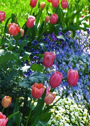 Tulips announce the beginning of spring in this Atlanta garden designed by author Roxann Ward. [PROVIDED/ROXANN WARD DESIGN]