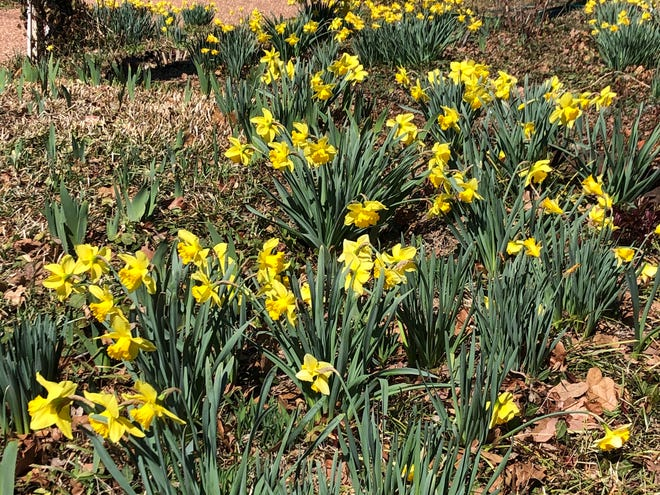 Daffodils announce spring. [PROVIDED/RODD MOESEL]