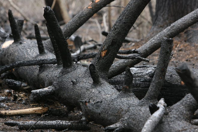 A brush fire in Coventry burned thick underbrush and fallen trees several years ago.