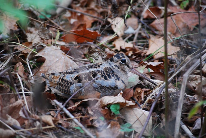 Secretive American woodcock are now arriving to feed and breed in our dense early growth forests.
