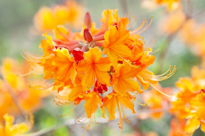 Native azaleas often remain unnoticed in the landscape since they are a deciduous plant, losing their leaves each year, but when their vibrant and showy blooms erupt, they are hard to miss.