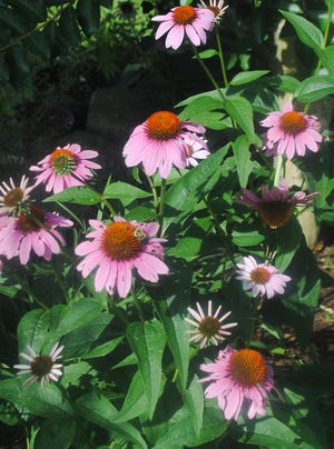 These lovely coneflowers grew in my landscape several years ago. We revamped the landscape in that area and planted azaleas in the entire plot, so before the planting project began, we dug up the coneflowers and gave them to a friend.I miss the flurry of pollinators that they lured to the landscape.