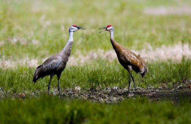 A pair of Sandhill Cranes at Roshara.