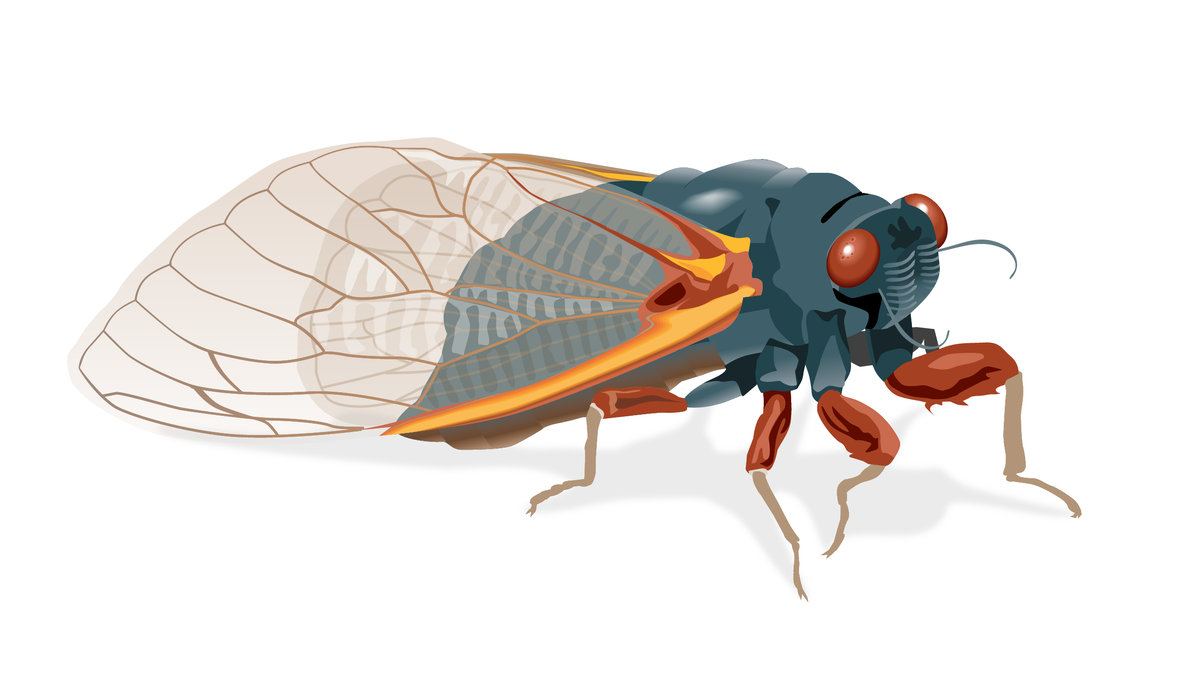 When will the cicadas emerge in 2021? How long will they be around after they come out? When will they be back?