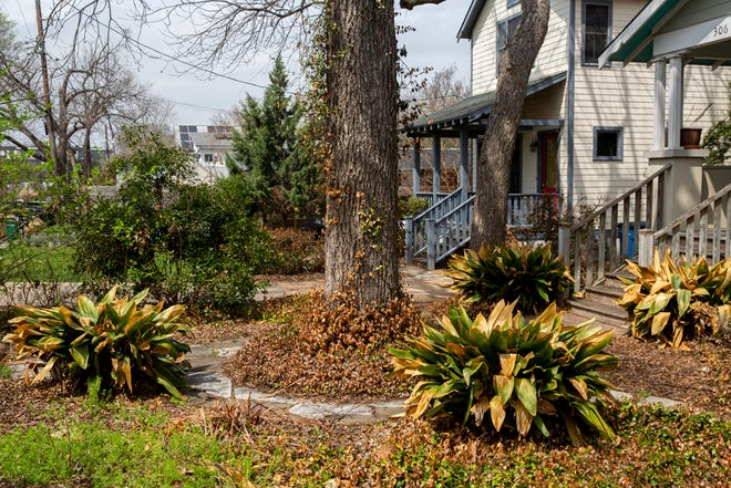 Aspidistra (iron plants) can be seen in Michael Barnes' front yard in South Austin. Although they yellowed on the tips of the leaves, these plants are among a few that easily made it through last month's devastating freeze.