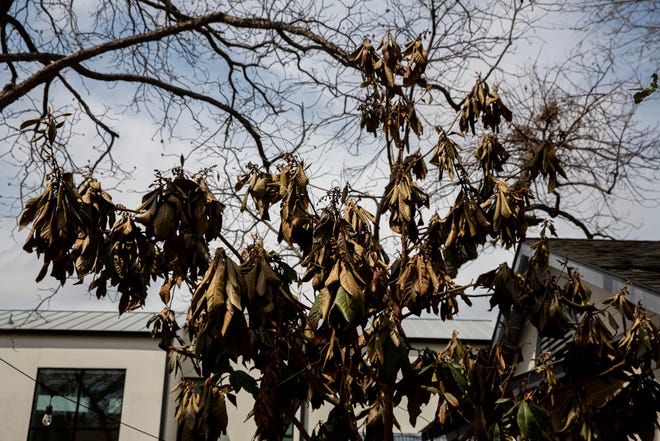 Dead leaves hang from a loquat tree in South Austin after the winter storms.