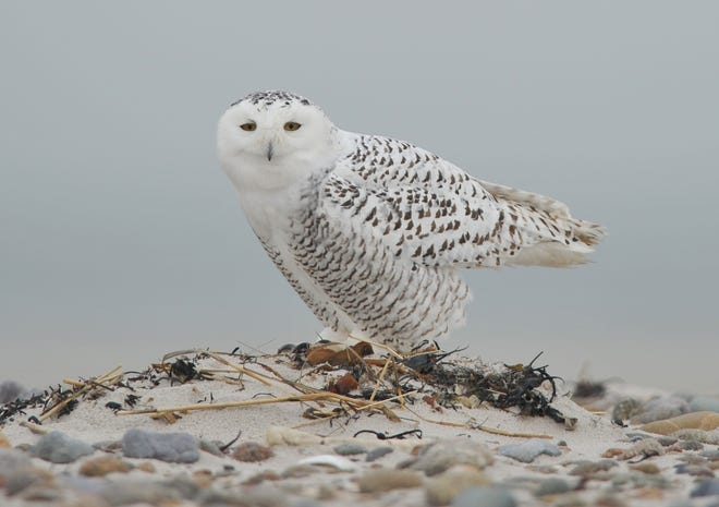 BARNSTABLE-- 12/17/14-- A young snowy owl readies for flight on a sand spit off the tip of Sandy Neck Beach.