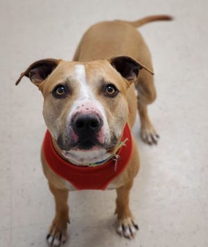 Bobby McGee is one of several pit bulls available for adoption at the Des Moines County Humane Society.