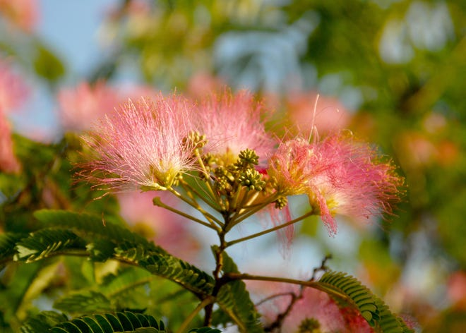 Mimosa Trees Blooms Are Colorful