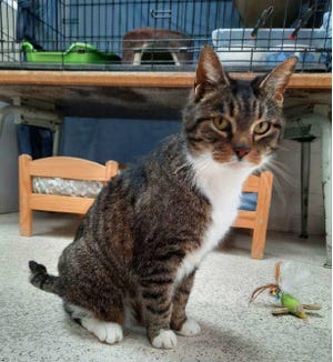 Tiger Sox, one of the cats in the care of Friends of Companion Animals in Frenchtown Township, is pictured.