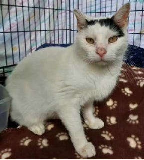 Billy, one of the cats under the care of Friends of Companion Animals in Frenchtown Township, is pictured.