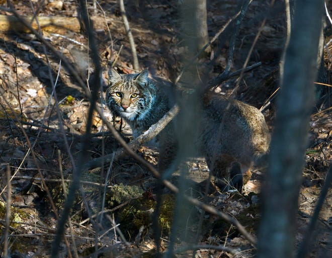 A bobcat is visible in the woods.