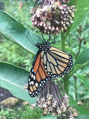 Monarch butterflies on milkweed.