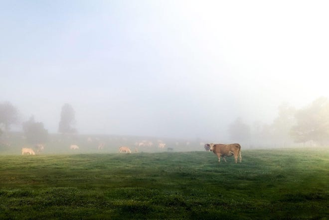 The first green grass of spring might not be the most nutritious for cattle.