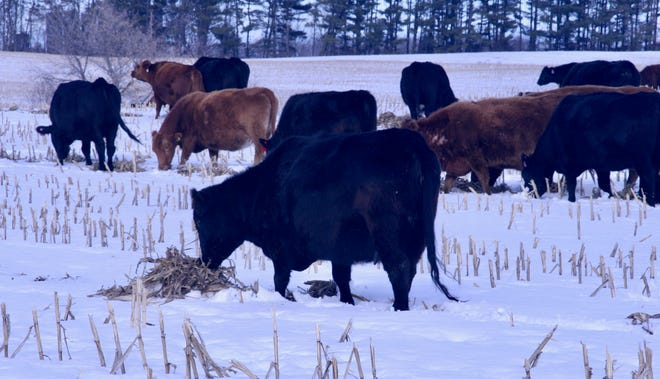 Once the field is open, the beef cows move in calmly to graze on the newly exposed cornstalk windrows.