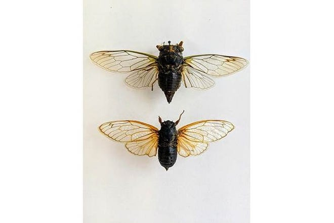 Preserved specimens show the difference between the annual cicadas (top) and the periodical cicadas (bottom). The periodical cicadas are the ones that will be in Kentucky this spring.