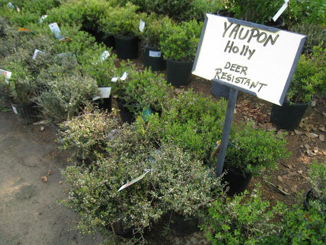 Yaupon holly is a Texas native that can survive Central Texas extremes.