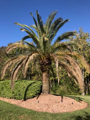 Lethal bronzing, a fatal disease in palms, displays many symptoms including aborted fruit, blackened flowers, bronzing of the lower leaves and more.