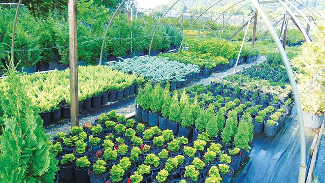 If you want to buy plants to enhance your garden this spring, but want to avoid crowds, visit the UT Arboretum Society's Annual Spring Plant Sale which will be held online with sales from March 19 to April 3 with pick-up dates April 9 and 10 at the UT Arboretum. Shown are conifers from East Fork Nursery.