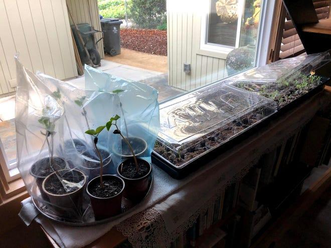 Seedlings in a bright sunny window.