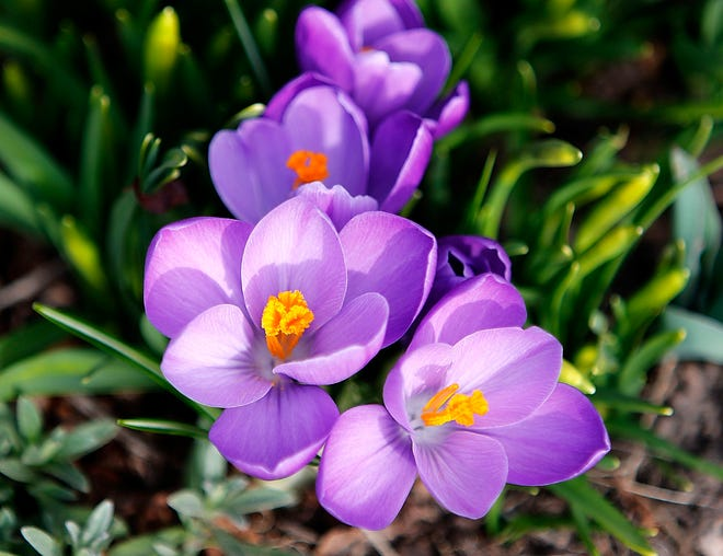 ASHLAND - Crocuses are seen in bloom in a garden in the city on Wednesday, March 17. Early spring flowers like crocuses beginning to bloom and tulips coming up out of area gardens are a few of the signs of spring in the area. Spring officially begins Saturday, March 20.