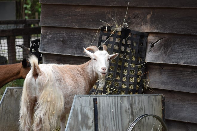 This spring, runners will have a chance to run wild at the WNC Nature Center at the Friends of the WNC Nature Center's first Running of the Goats 5k and Nature Walk April 25.