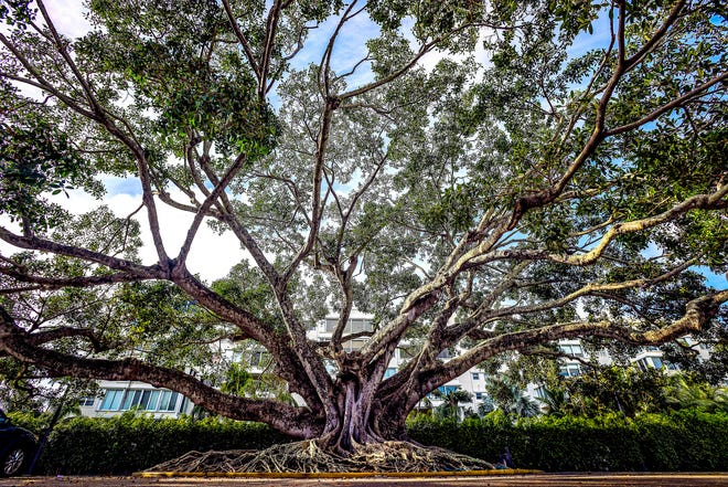 This mysore fig, which is thought to date to the 1890s, is located in the parking lot of Royal Poinciana Plaza.