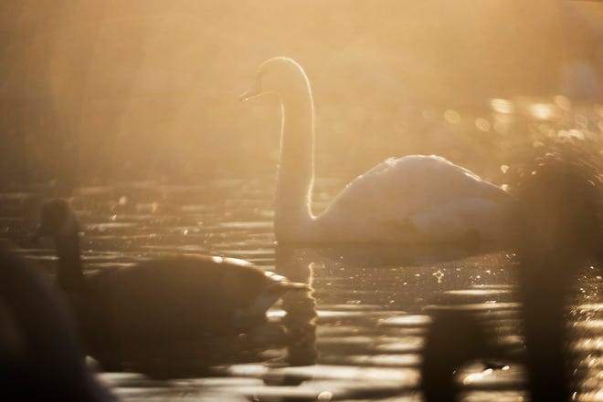 A trumpeter swan swims in a pond at the Michigan Duck Rescue and Sanctuary on Wednesday, March 17, 2021, in Salem Township.