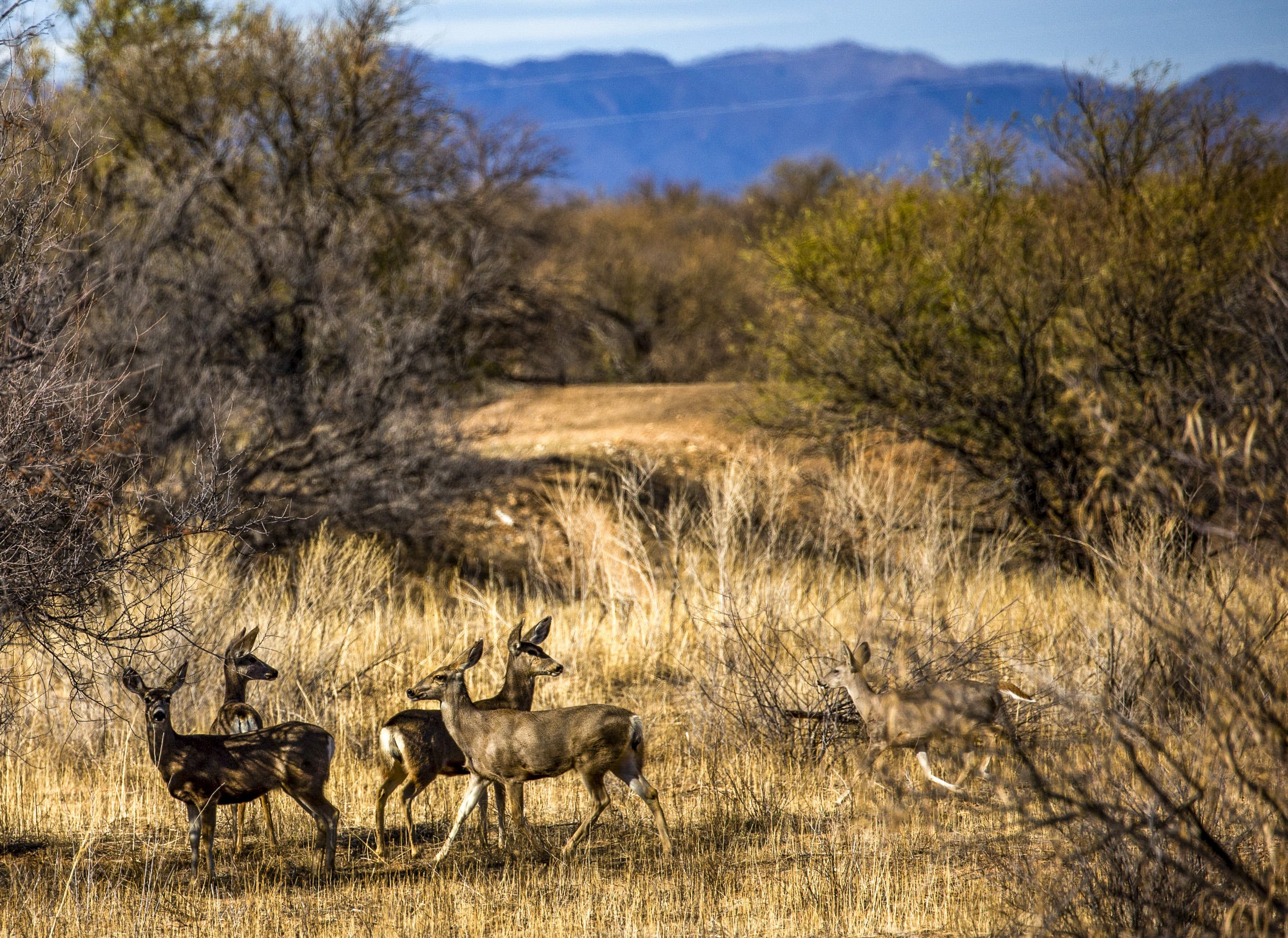 Deer prick up their ears near Sasabe, Ariz., where a new portion of the border wall was recently built.
