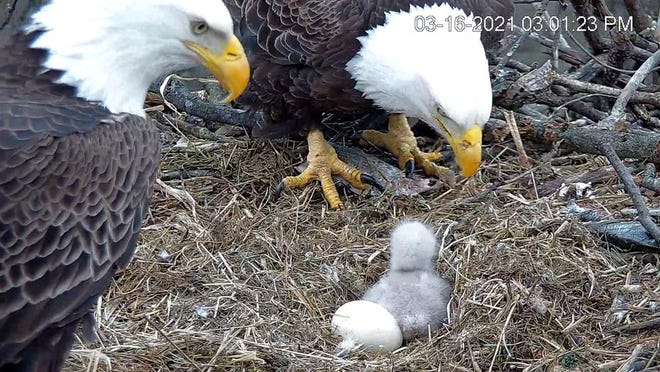 """The first of two siblings, dubbed """"H313"""" hatched early Saturday morning to parents Liberty and Freedom. The chick's sibling as of 11:30 a.m. Thursday had not hatched and is most likely a """"non-viable"""" egg, according to Hanover-area birding expertKaren Lippy. Credit: HDOnTap"""