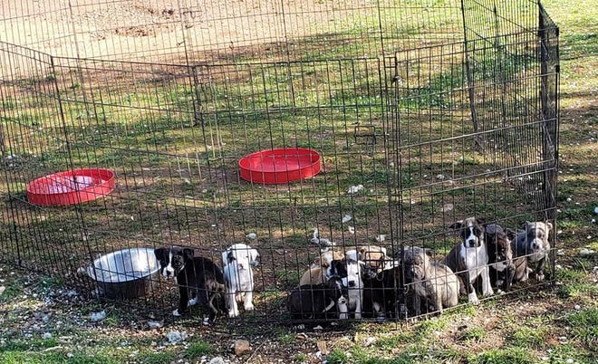 A police search of a Shasta County man's home turned up about 30 dogs, some of which are shown in this pen. The search took place Tuesday, March 16, 2021.