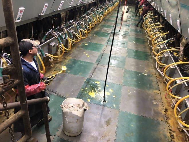 In a modern dairy farm, workers attach milking machines while working in a small channel situated beneath the cows, which are held in pens on both sides above them. Robotic milking operations all happen on the same level and do not require the use of employees to attach milking equipment or move cows into position.