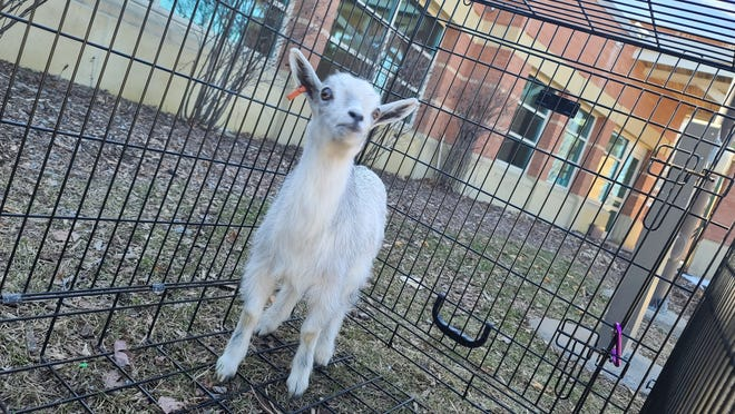 Wausau police officers picked up this stray goat Thursday and held it in a cage in front of the police station before bringing it to a farm.
