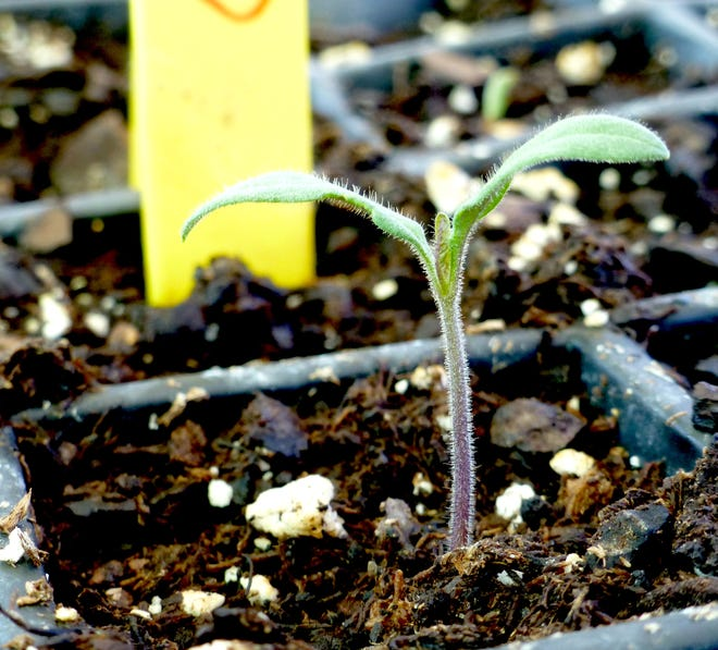A healthy tomato seedling growing upright with green seed leaves and fuzzy stem indicates it has been grown in optimum light. It has a label with variety and sowing date for good record keeping.