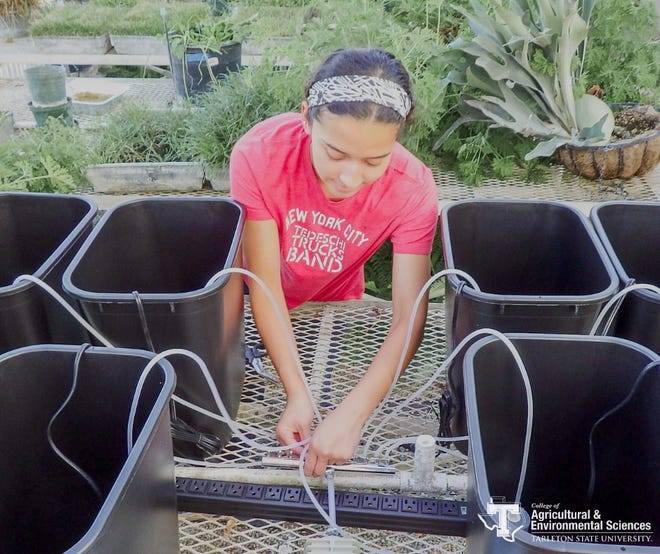 Neesa Johnson, a Tarleton undergraduate student in the Wildlife, Sustainability, and Ecosystem Sciences Department, works on her undergraduate project of researching the effects of Mexican scud on lettuce roots in a hydroponic system.
