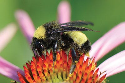 """A bumble bee photo from NMSU Extension Guide H-172, """"Backyard Beneficial Insects in New Mexico."""""""