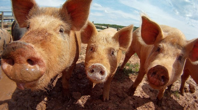 The intent of the protocol is to protect swine populations in both countries during an outbreak of ASF in feral swine, while minimizing impacts on the trade of live swine, swine products, and other swine commodities.