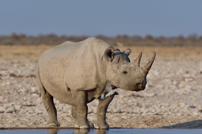 The NC Zoo helped develop an anti-poaching software that is being used to help save black rhinos in Namibia.