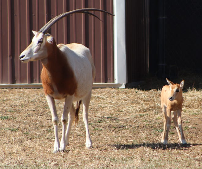 Seska, a scimitar-horned oryx, gave birth Feb. 24 to a male calf at the Rolling Hills Zoo.