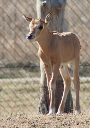 A male scimitar-horned oryx calf was born Feb. 24 at the Rolling Hills Zoo. The calf weighed roughly 16 pounds at birth and was born to Seska, one of two female scimitar-horned oryx who were transferred from Fossil Rim Wildlife Center in Glen Rose, Texas.
