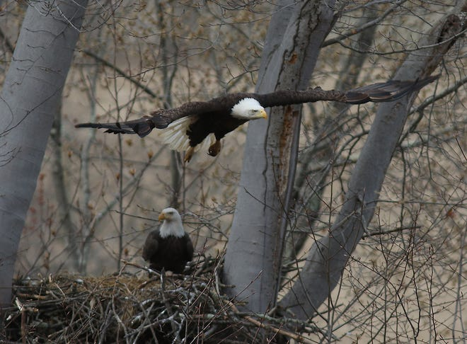 One of the two bald eagles flies from its nest near Newcomerstown. The nest has been in use for a number of years.