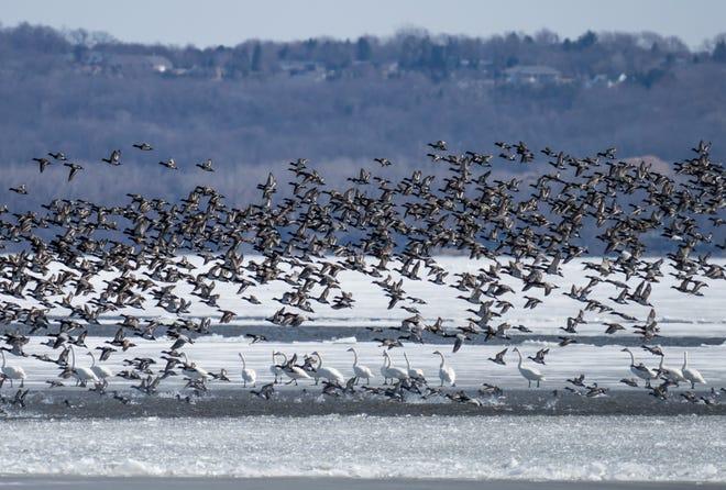 Large numbers of migrating waterfowl including ducks and swans were visible on Lake Winnebago last week.